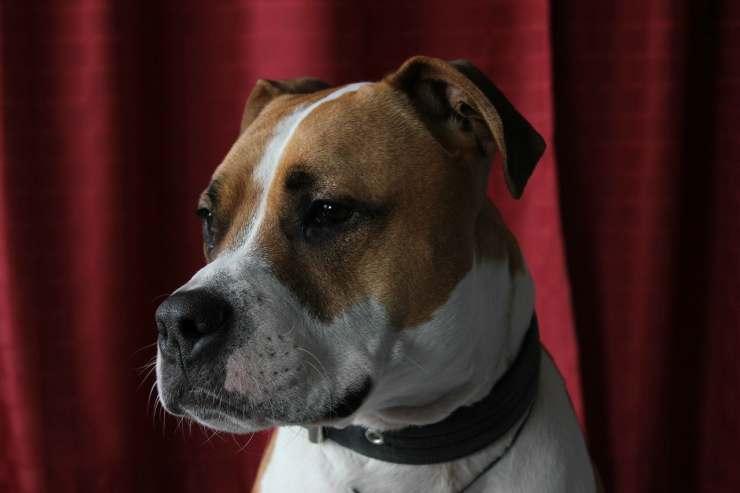 L'attenzione del pitbull (Foto Pixabay)