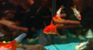 Mangime alternativo per pesci rossi