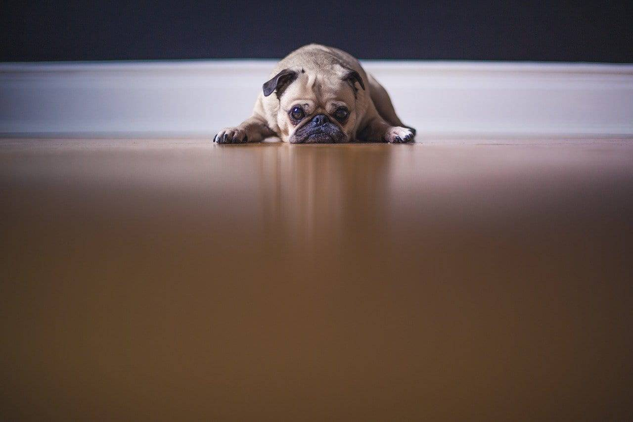 Sconforto del cagnolino (Foto Pixabay)