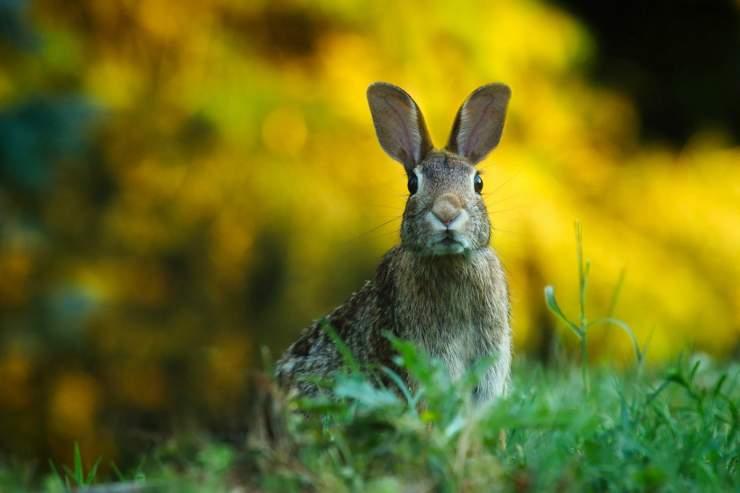 Coniglio pauroso (Foto Pixabay)