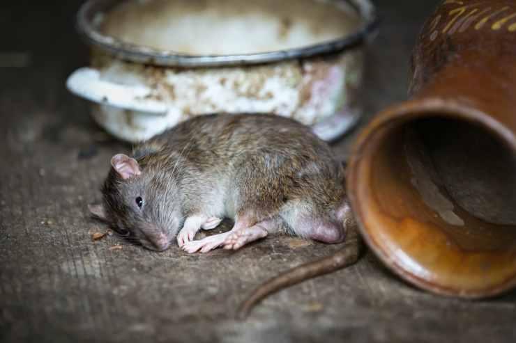 La tristezza del ratto (Foto Pixabay)