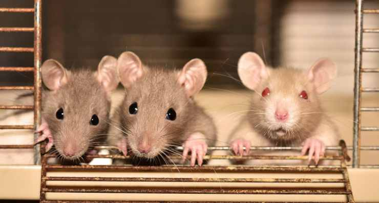 La tenerezza dei ratti (Foto Pixabay)