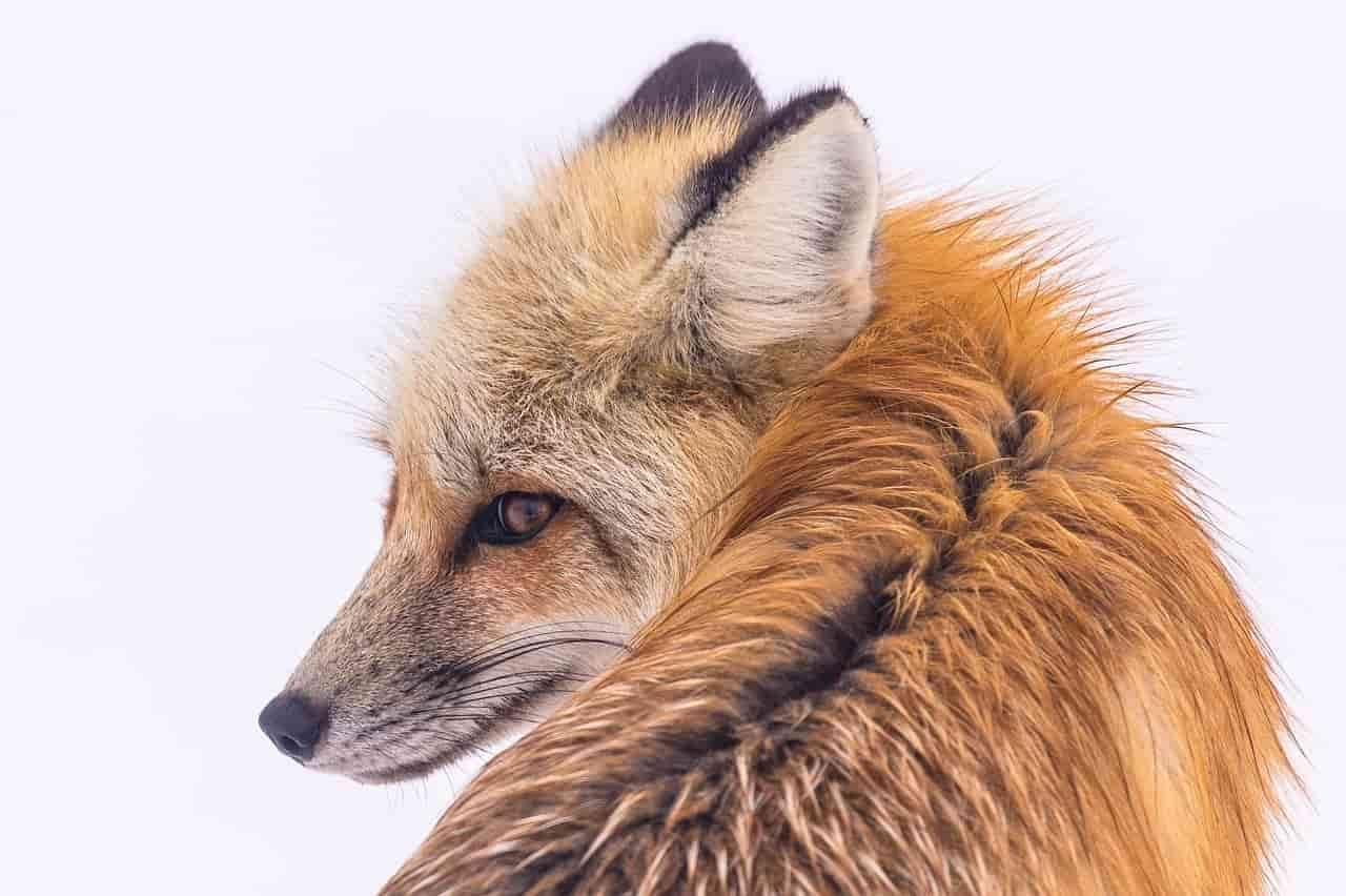 Sguardo della volpe (Foto Pixabay)