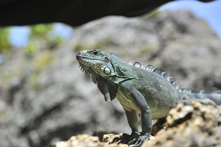 malattie dell iguana