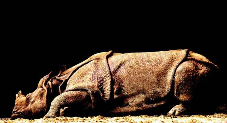 Rinoceronte (Foto Pixabay)