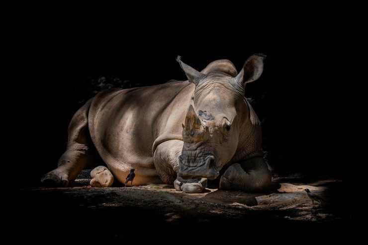 Rinoceronte preoccupato (Foto Pixabay)