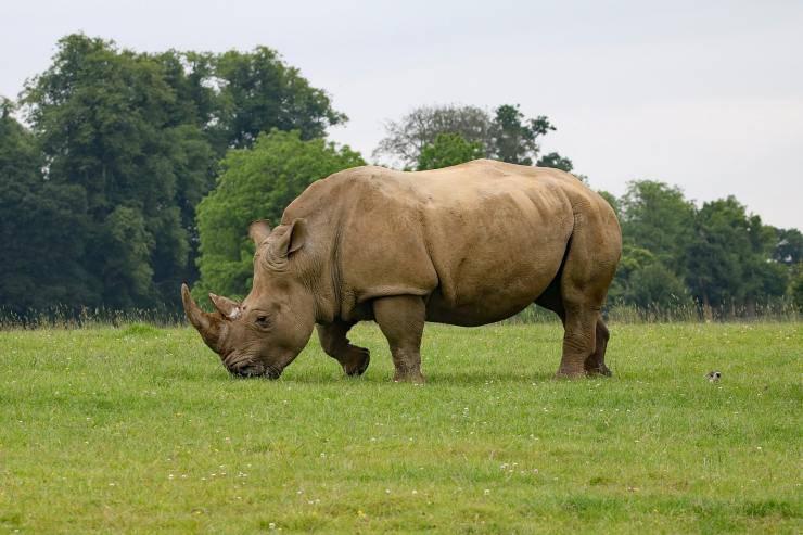 rinoceronte che mangia