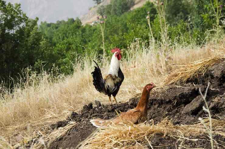 Quanto vive una gallina