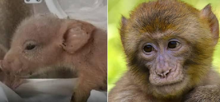 ibrido maiale scimmia