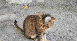 tigna nel gatto