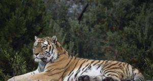 curiosita tigre