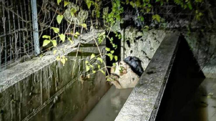 labrador salva due cani vasca