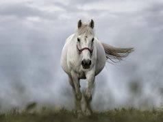 Cavallo bianco (Foto Pixabay)