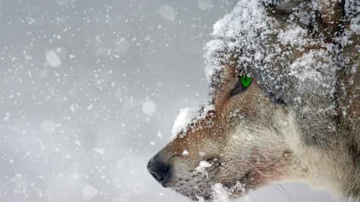Lo sguardo del lupo (Foto Pixabay)