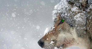 Lupo nella neve (Foto Pixabay)