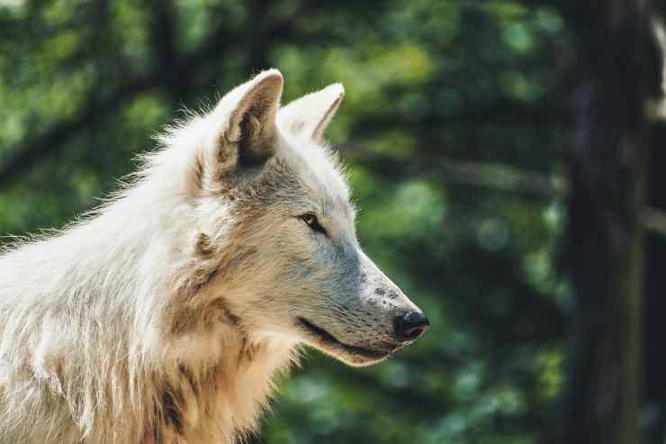 La maestosità del lupo (Foto Pixabay)
