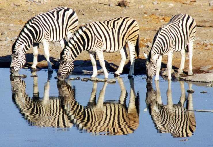 zebra mangia