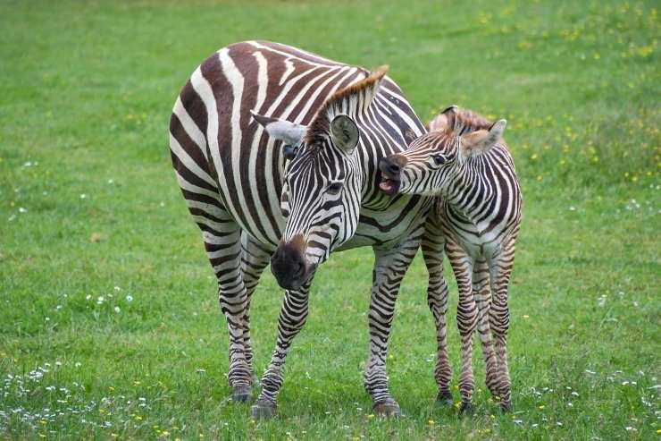 zebra e cucciolo di zebr