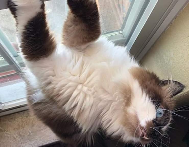 gatto cricket si arrampica
