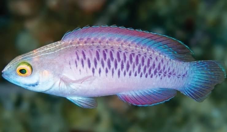 pesce wakanda