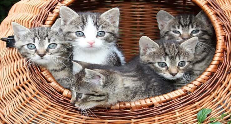 gattini (Foto Pixabay)