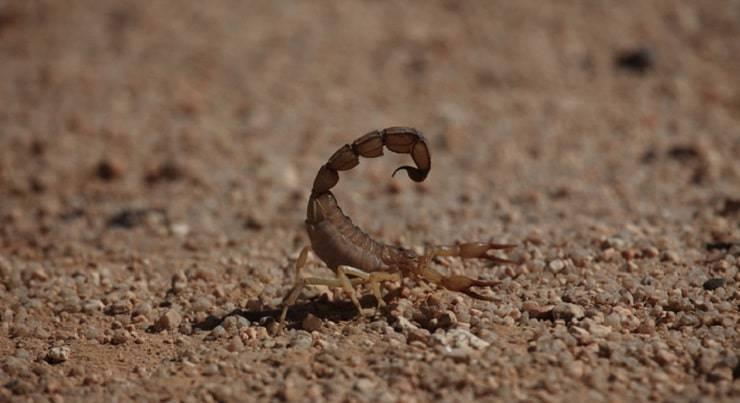lo Scorpione del Sahara