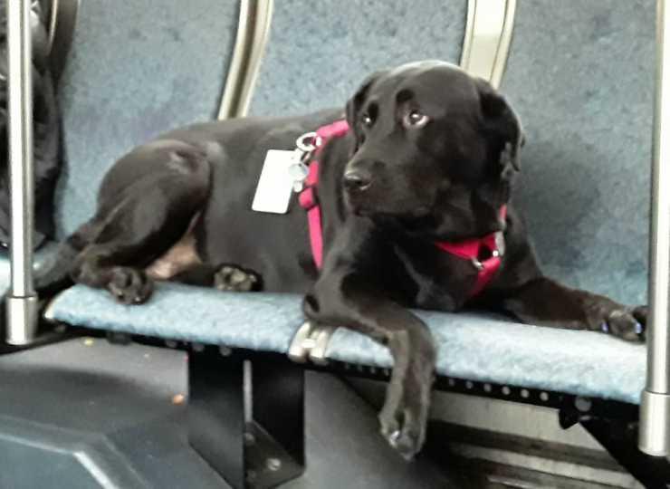 La cagnolina seduta sui sedili del bus (Foto Pixabay)