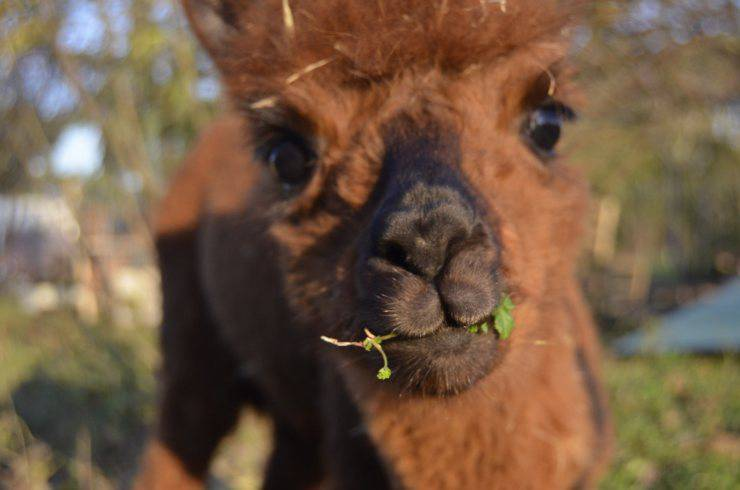 come allevamento camelidi