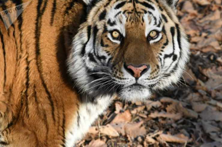 Tigri Facebook