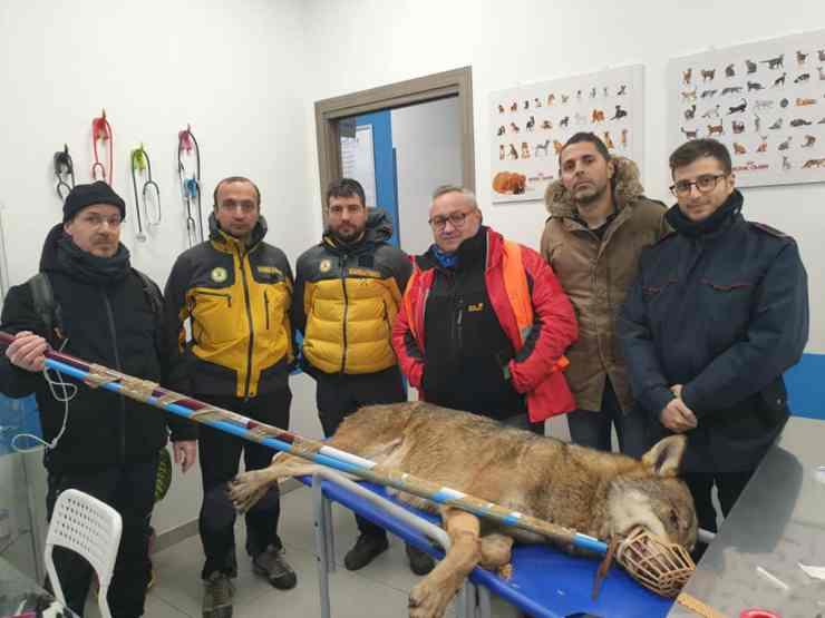 Il lupo ritrovato (Foto Facebook)