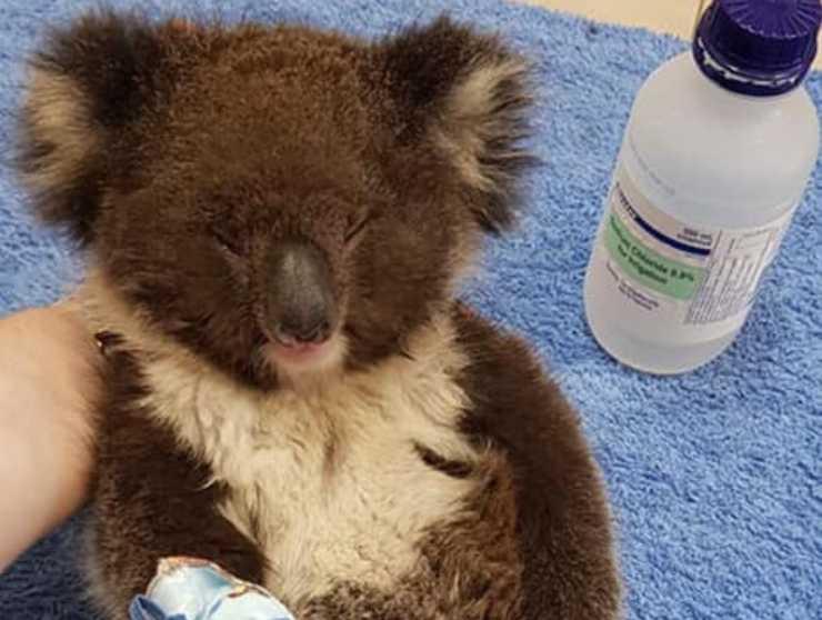 incendi Australia koala