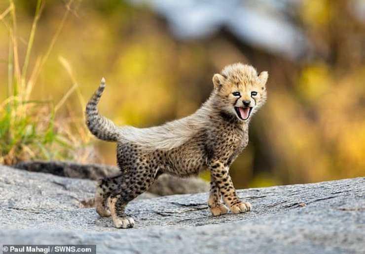 Il ghepardo felice (Foto Facebook)