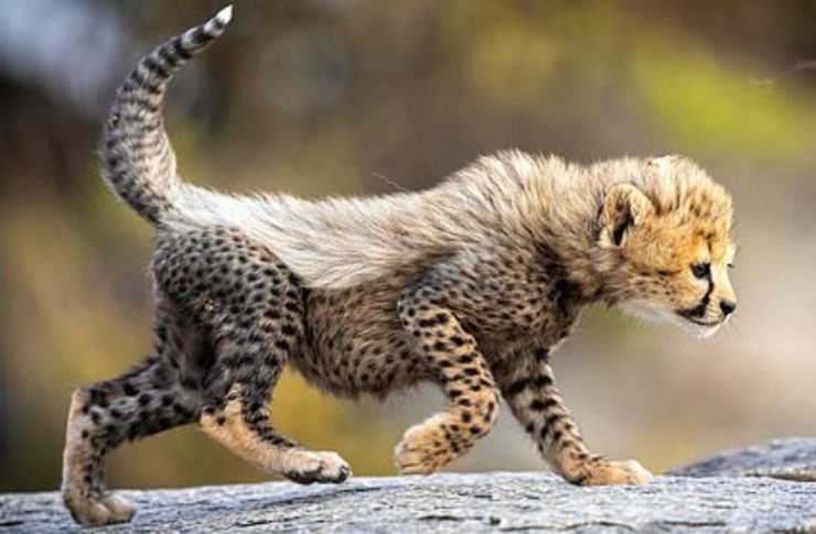 Il ghepardo fotografato (Foto Facebook)
