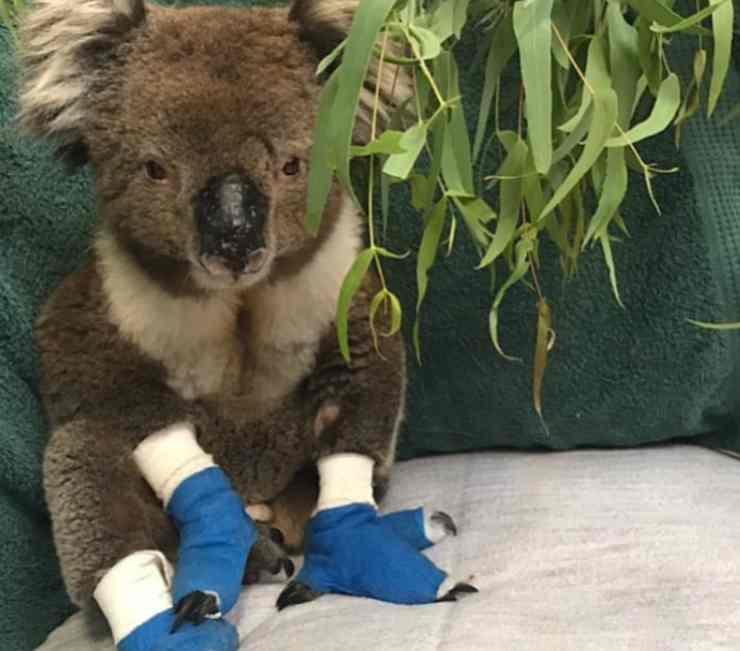 Billy, il koala che non ce l'ha fatta (Foto Instagram)
