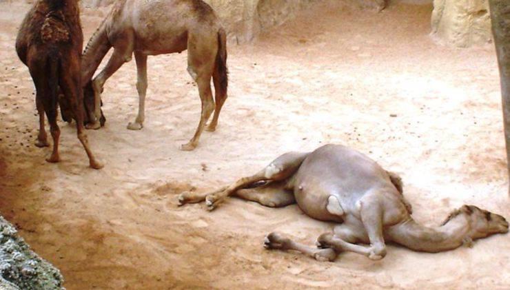cammelli abbattuti australia