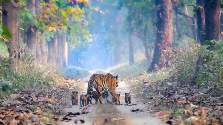 La passeggiata della tigre (Foto Twitter)