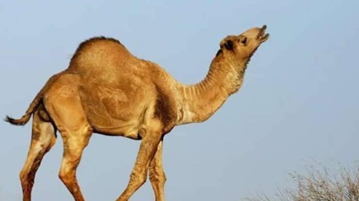 cammelli dromedari Australia