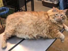 gatto obeso americano