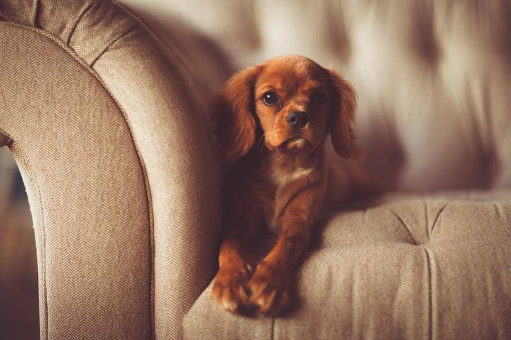 peli di cane sul divano