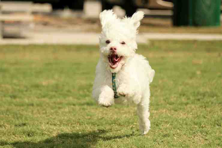 barboncino che corre (Foto Pixabay)