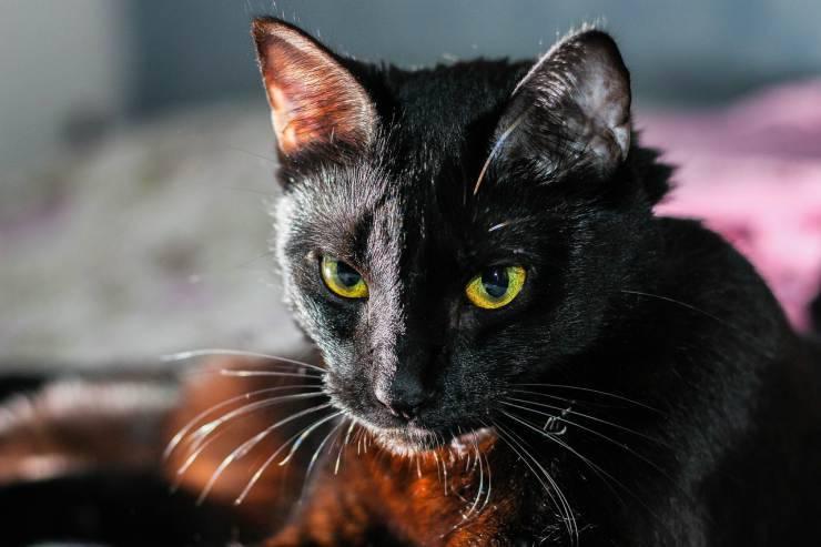 Gatto concentrato (Foto Pixabay)