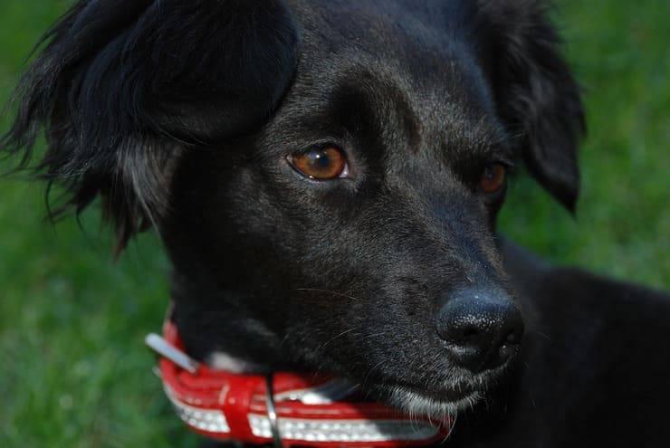 Lo sguardo del cane (Foto Pixabay)