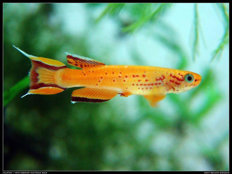 Pesce Aphyosemion australe