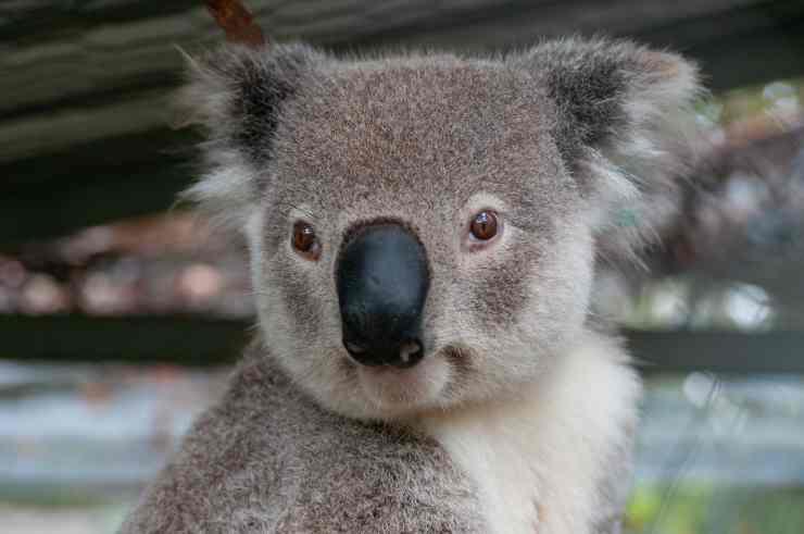 Koala in primo piano (Foto Pixabay)