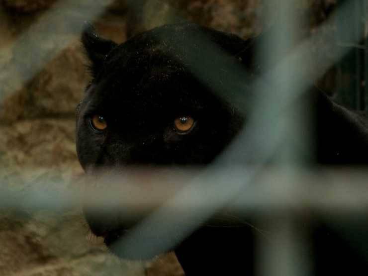 Lo sguardo della pantera (Foto Pixabay)