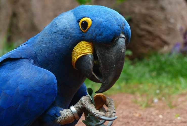 Pappagallo ara blu espressivo (Foto Pixabay)