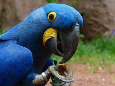 Il pappagallo ara blu (Foto Pixabay)