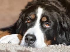 piroplasmosi nel cane