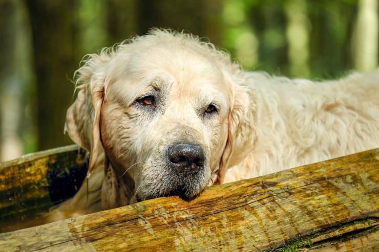 cane anziano con segnali di demenza