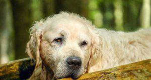 cane vecchio con segnali di demenza canina